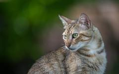 cat (19) (Vlado Ferenčić) Tags: catsdogs cats kitty kittens vladoferencic medvedička hrvatska vladimirferencic podravina croatia animals animalplanet nikond600 nikkor8020028 novovirje