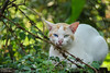White odd-eyed cat (Heterochromia) (Galib Emon) Tags: whiteoddeyedcat heterochromia animal cat wildcat natural green white wildlife forest rangamati chittagong bangladesh canon eos 7d efs18135mm f3556 is oddeyed portrait flickr outdoor beautiful dof depthoffield copyright galibemon