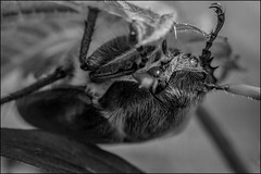 2_DSC6593 (dmitryzhkov) Tags: russia moscow life animal wildlife monochrome reportage social public urban city photojournalism documentary coleoptera bw beetle insect macro closeup macrophotography bwnature nature dmitryryzhkov blackandwhite beetles