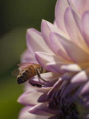 Un coin tranquille ** (Titole) Tags: bee dahlia titole nicolefaton pink unanimouswinner thechallengefactory