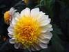 yellow and white Dahlia P1014854 (saxonfenken) Tags: 6674flower 6674 dahlia yellow white macro flower garden pregamewinner