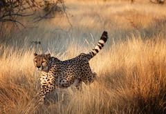 namibia 2017 (mauriziopeddis) Tags: africa namibia cheetah ghepardo felino cats cubs run runner running hunter hunting predator sunset wildlife wild nature savana bush safari yellow orange