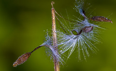 Twist (lkiraly72) Tags: seed twist droplet waterdroplet fluffy wet arc