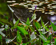 Her Best-Laid Plans (DaveLawler) Tags: spider web pond water shore green plants flower flora nature park spencer massachusetts d500