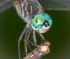 Beautiful, beautiful blue eyes... (tresed47) Tags: 2017 201707jul 20170712chestercountymacro bluedasher brandywinekardon canon7d chestercounty content dragonflies folder insects july pennsylvania peterscamera petersphotos places season summer takenby us eyes compoundeyes