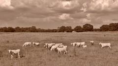 Cows in Sepia (Neal3K) Tags: cows henrycountyga georgia sepia