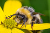 Bee Macro (Dibbly Dobbler) Tags: fujixt1 18135mm raynox 250 nissin i40 flash beemacro