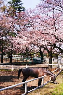 春の馬事公苑