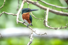 Nicaragua -Centro Ecologico Los Guatuzos: Green-and-rufous Kingfisher (Chloroceryle inda) (Exper!ence it) Tags: nicaragua