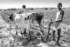 Hard Work For Man And Beast (channel packet) Tags: eritrea massawa red sea farming ploughing plowing cattle monochrome blackandwhite african davidhill