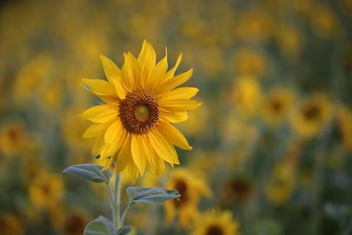 flower bokeh morning sun printemps fleur field nature... (Photo: Rogg4n on Flickr)