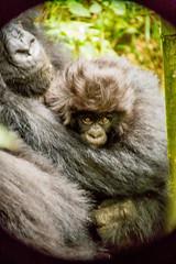Gorilla trekking (Visit Rwanda) Tags: gorilla trekking mountain volcanoes national park rwanda kinigi musanze tourism sustainable travel kwita izina kwitizina