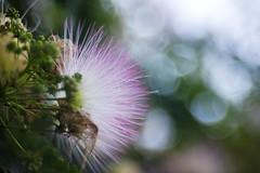 Fuzzy Blossom # 2 (WilliamND4) Tags: meyeroptikgoerlitztrioplanf28100lens blossom bokeh pink flower nikond810