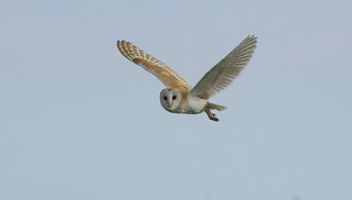 Barn Owl - Just saying hello