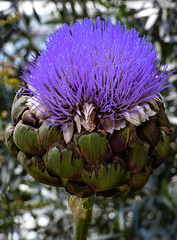 An Overcooked Artichoke (Steve Taylor (Photography)) Tags: artichoke mauve green brown white asia singapore flower flowerdome gardensbythebay
