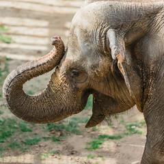 Happy 70th Birthday, dear Ambika! (heights.18145) Tags: smithsoniansnationalzoo elephant ambika birthday ccncby