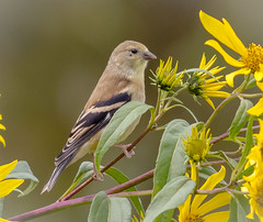 Young Goldfinch (tresed47) Tags: 2017 201709sep 20170909chestercountymisc birds canon7d chestercounty content extonpark finch folder goldfinch pennsylvania peterscamera petersphotos places season september summer takenby us