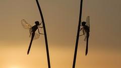 Duo at dawn (jrosvic) Tags: emergency sympetrumfonscolombii sympetrumstriolatum freehand sunrise loscamachos nikond90 nikon105f28miccro macro entomology odonata anisoptera