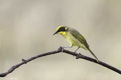 Yellow-tufted Honeyeater (Jims Wildlife) Tags: lichenostomusmelanops yellowtuftedhoneyeater clones bird australia honeyeater