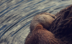 The Hidding Place (akigabo) Tags: montreal summer fauna duck hidding water texture nature t5i canon 700d canada akigabo 7dwf