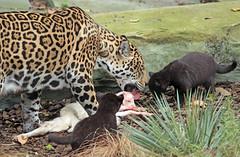 jaguar, born 28 6 2017 artis BB2A2125 (j.a.kok) Tags: jaguar pantheraonca blackjaguar zwartejaguar zoogdier zuidamerika southamerica cat kat mammal dier animal rica artis