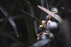Pearls of wisdom (Fujibert) Tags: veranstaltung hss beere frucht botanikabremen schwarz sliderssunday farbe colorgrading stil flickr natur pflanze event style