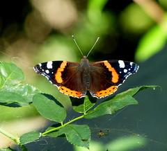 Admiral (isajachevalier) Tags: admiral falter schmetterling butterfly natur sommer garten panasonicdmcfz150