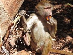 Babuíno-hamadrias (Papio hamadryas) (Marina CRibeiro) Tags: portugal lisboa lisbon zoo babuíno baboon ape macaco simio