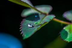after the rain... (martinap.1) Tags: nikon nature nikond3300 natur nikon40mmmacro d3300 droplets drop drops spinne spider bokeh blue green grün garten insect insekt makro macro tropfen 7dwf