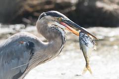 _DSC1777 (P2 New) Tags: 2016 animaux costarica date décembre grandhéron oiseaux pays riotarcoles provinciadepuntarenas