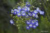 _MG_0385n tropaelum azureum (jose_cañas_aves) Tags: azureum tropaeolum tropaelumazureum