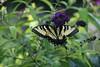 Butterfly Magic (jprobinson1) Tags: butterflies butterfly yard bush plants beauty beautiful purple flowers flower yards outside nature monarch yellow black flight bugs insects bug insect green land landing flutter fluttering
