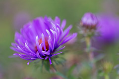 Asters (mclcbooks) Tags: flower flowers floral macro closeup asters aster denverbotanicgardens colorado summer