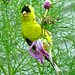 American Goldfinch Fledgeling