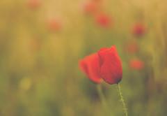 felicidades!!!!!!!!!!!!!! (xelea) Tags: amapolas flora flowers flores poppies