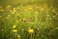 sanfoin in the yellow sea (HHH Honey) Tags: sonya7rii minolta50mmf28macro minolta minolta50mm wiltshire wildflowers salisburyplain summer yellow dandelions sanfoin pink