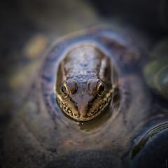 Portrait d'une (petite) grenouille (Pierre Villanti) Tags: grenouille portrait bonneville auvergnerhônealpes france fr frog canoneos5dmarkiv tamronsp90mmf28divcusdmacro11f017
