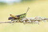 Wekkertje - Common Green Grasshopper (aaronmeijer2) Tags: wildlifephotography wildlife animals canon eos macro insect arthropod grasshopper orthoptera netherlands 1200d noordhollandsduinreservaat duinen animal