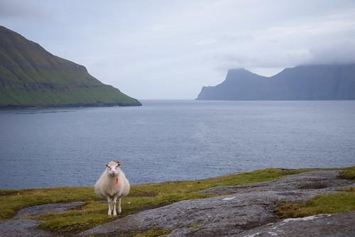 Sheep over the Funningsfjørður