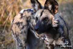 Painted Dog (www.jamesbrew.com) (James Brew (www.jamesbrew.com)) Tags: botswana africa southern wild dog painted safari wildlife moremi game reserve okavango delta
