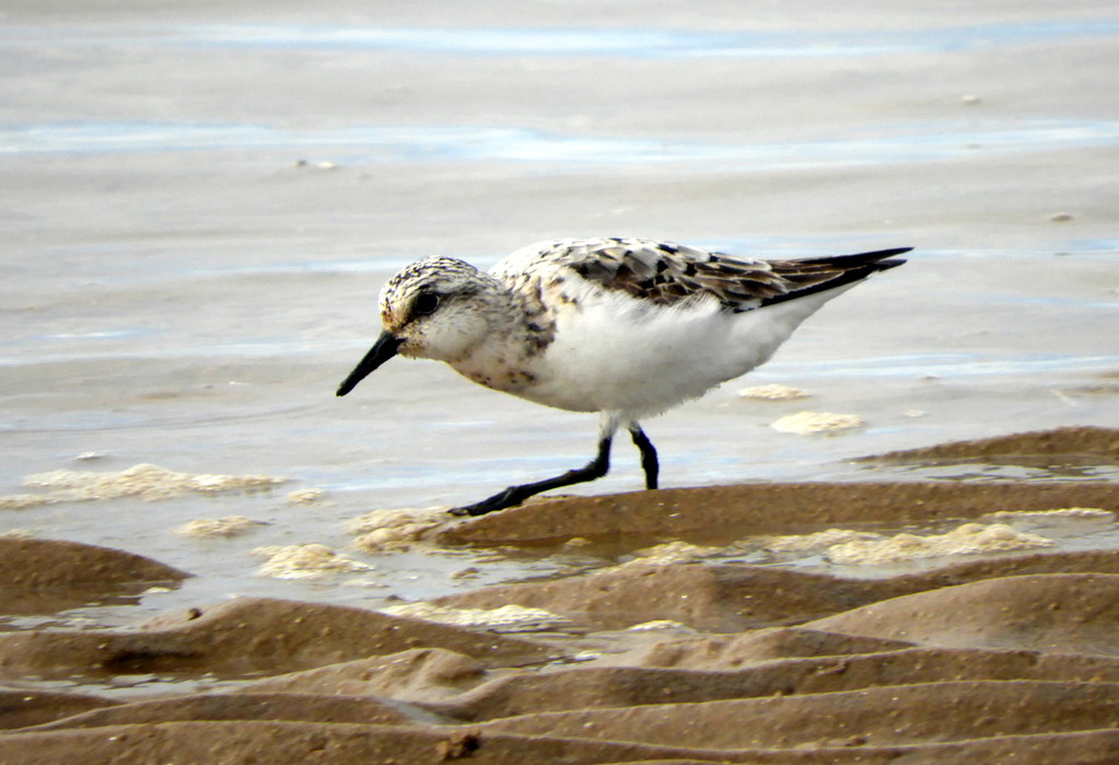 Juvenile Sanderling on Ainsdale Sands