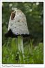 Iconic Shaggy Ink Cap Mushroom (Paul Simpson Photography) Tags: mushroom shaggyinkcap paulsimpsonphotography nature naturalworld fungi fungus sonya77 sonyphotography woodland naturephotos imagesof imageofphotoof photosof grass september 2017 autumn trees photosofnature ukfungusday