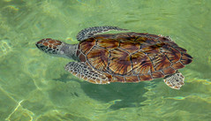 Turtle at the Cayman Turtle Farm (JavaJoba) Tags: canon caymanislands caymanfam grandcaymanisland jackkennard travel travellocal turlle nikon nikond5200 atlanta ga usa caymanturtlefarm caymanturtlecentre boatswain's