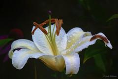 Perfect Weather For Slugs (Lindaw9) Tags: white lily slugs northern ontario macro raining mygarden flower