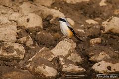 Schachwürger (uwizisk) Tags: india indien longtailedshrike ranthambhorenationalpark schachwürgerlaniusschach