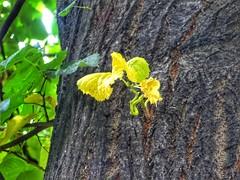 A new start!!! (panoskaralis) Tags: plants plant tree trees leaves clones green nature kavala greece hellas greek hellenic outdoor