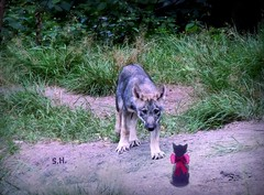 Hello little Girl... (pianocats16) Tags: wolf cub pup cute little kitty cat imaginary red bow wildpark schorfheide