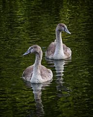 The Cygnets (MrBlueSky*) Tags: cygnet swan bird waterfowl animal nature outdoor water aquaticbird kewgardens royalbotanicgardens london aficionados pentax pentaxart pentaxlife pentaxk1 pentaxawards pentaxflickraward coth5