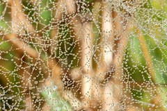 Telaraña (Patricio_Alvarado) Tags: lanalhue lago arauco biobio chile macro araña spider telaraña spiderweb rocio dew mañana morning frio cold wild naturaleza nature canon t5i sigma 1770 gotas drops