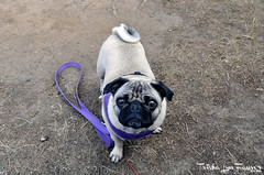 NewportCamping17-004 (TrishaLyn) Tags: southbeachstatepark dogs pugs fawnpug pixel pixelpugprincess animals newport oregon